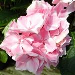 Hydrangea macrophylla La Vie en Rose (1)