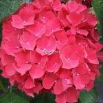Hydrangea macrophylla Julisa (1)