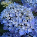 Hydrangea macrophylla Ebony (4)