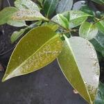 Magnolia compressa (3)