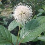 Cephalanthus occidentalis Fiber Optic (2)