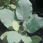 Cotinus Old Fashioned (2)