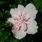 Hibiscus syriacus Pink Chiffon