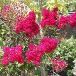 Lagerstroemia indica Fuchsia (2)