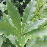 Quercus imbricaria (2)