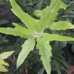 Quercus kewensis