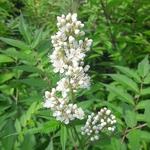 Sorbaria sobifolia Sem