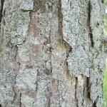 Quercus bicolor (3)