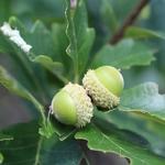 Quercus bicolor (2)
