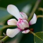 Magnolia compressa (1)