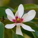 Magnolia compressa (2)