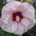 Hibiscus moscheutos Cherry Cheesecake
