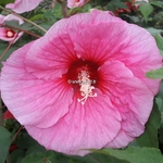 Hibiscus moscheutos Summer Storm
