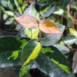Trachelospermum aiaticum Summer Sunset (2)