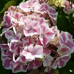 Hydrangea macrophylla Frau Katsuko (4)