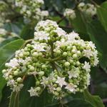 Hovenia dulcis (1)