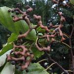 Hovenia dulcis (2)