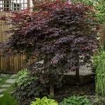 Acer palmatum Bloodgood (3)