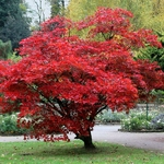 Acer palmatum Bloodgood (1)