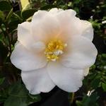 Camellia japonica Lilian Ricketts (3)