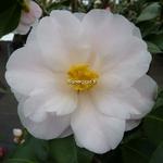 Camellia japonica Lilian Ricketts (4)