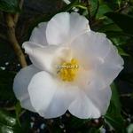 Camellia japonica Lilian Ricketts (5)