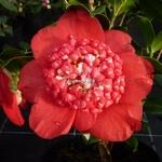 Camellia japonica Bob's Tinsie (5)