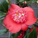 Camellia japonica Bob Tinsie (3)
