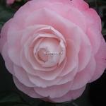 Camellia japonica Desire (12)
