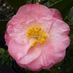 Camellia japonica Dr. Tinsley
