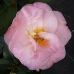 Camellia japonica Dr Tinsley (6)