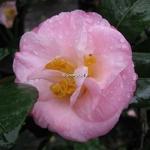 Camellia japonica Dr Tinsley (3)