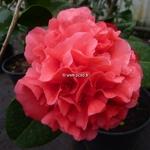 Camellia japonica Kramer Supreme (2)