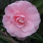 Camellia japonica Nuccios Cameo (2)