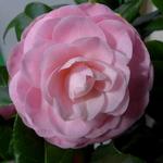 Camellia japonica Nuccio Cameo
