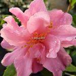 Camellia Fragrant Pink (3)