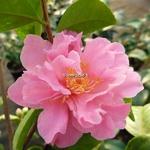 Camellia Fragrant Pink (4)
