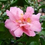 Camellia Fragrant Pink (1)