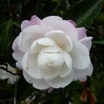 Camellia sasanqua Kogyoku (5)