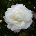 Camellia sasanqua Kogyoku (6)