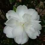 Camellia sasanqua Kogyoku (3)