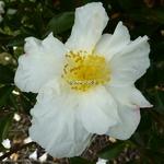 Camellia sasanqua Orcival (6)