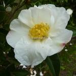 Camellia sasanqua Orcival (3)