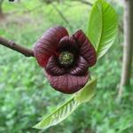 Asimina triloba (2)