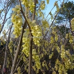 Corylopsis spicata (3)