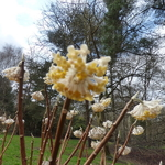 Edgeworthia chrysantha Winter Liebe (2)