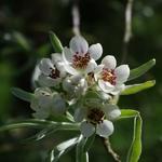 Pyrus salicifolia Pendula (1)