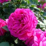 Rosa Mme Isaac Pereire (1)