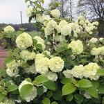 Viburnum plicatum Opening Day (1)
