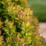 Berberis thunbergii Limoncello (1)